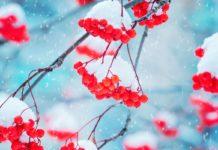 Rogneber med sne